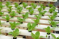 Hydroponic vegetables Farm Stock Photos