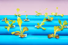 Hydroponic vegetables. Royalty Free Stock Images
