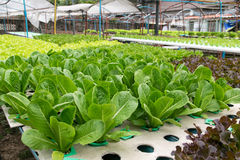 Hydroponic vegetables growing in greenhouse. Farm Royalty Free Stock Photos