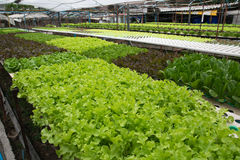 Hydroponic vegetables growing in greenhouse Royalty Free Stock Image