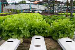 Hydroponic vegetables growing in greenhouse Stock Image