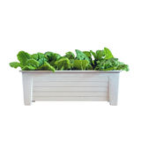 Hydroponic vegetables growing in pot Stock Photography