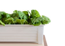 Hydroponic vegetables growing in pot on white background Stock Image