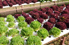 Hydroponic vegetables Royalty Free Stock Photography