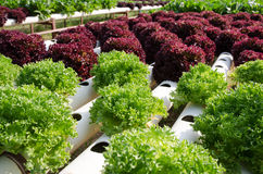 Hydroponic vegetables Royalty Free Stock Photos