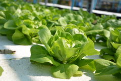Hydroponic Vegetables. Hydroponics for vegetable the growing of plants without soil it is a new method of growing plants Especially vegetable growing Plants used Royalty Free Stock Images