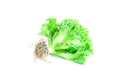Hydroponic Vegetables Royalty Free Stock Images