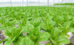 Hydroponic vegetables plantation Stock Image