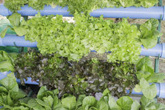 Hydroponic vegetables Stock Photo