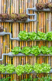 Hydroponic Vertical Gardening. Organic hydroponic vegetables Vertical garden stock photography