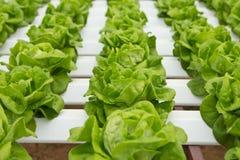 Hydroponic warzywa gospodarstwo rolne Obraz Stock