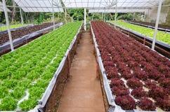 Hydroponic warzywo Obrazy Stock