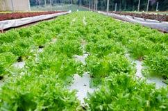 Hydroponic warzywo Zdjęcie Stock
