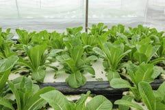 Hydroponic warzywo zasadza w ogródzie Obraz Stock