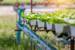 Hydroponic water system in the greenhouse for green oak vegetable stock photo