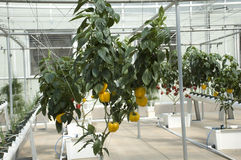 Hydroponic Yellow Peppers. Hydroponic Red Peppers in a Green House Royalty Free Stock Photos