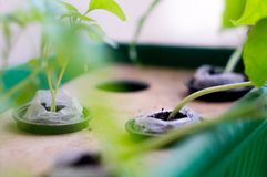 Hydroponically grown plants. In coco coirs and net pots shot using a shallow depth of field with a green theme Stock Photography