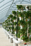 Hydroponically Grown Strawberry Vines Royalty Free Stock Image