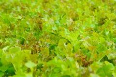 Hydroponics αγρόκτημα λαχανικών σαλάτας στην εκλεκτική εστίαση Στοκ εικόνες με δικαίωμα ελεύθερης χρήσης
