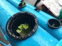 Hydroponics λαχανικό Στοκ Εικόνες
