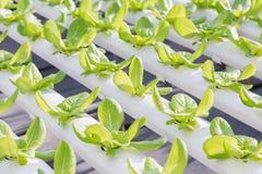 Hydroponics θερμοκήπιο Οργανική σαλάτα λαχανικών hydroponics στο αγρόκτημα για την υγεία, τα τρόφιμα και το σχέδιο έννοιας γεωργί Στοκ εικόνα με δικαίωμα ελεύθερης χρήσης