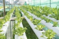 Hydroponics καλλιέργειας πράσινο λαχανικό στο αγρόκτημα Στοκ Εικόνες