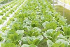 Hydroponics καλλιέργειας πράσινο λαχανικό στο αγρόκτημα Στοκ φωτογραφίες με δικαίωμα ελεύθερης χρήσης