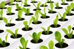 Hydroponics καλλιέργειας λαχανικά Στοκ φωτογραφίες με δικαίωμα ελεύθερης χρήσης