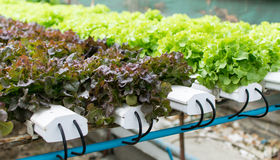 Hydroponics καλλιέργειας πράσινο λαχανικό στο αγρόκτημα Στοκ εικόνα με δικαίωμα ελεύθερης χρήσης