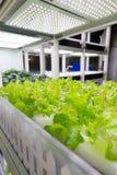 Hydroponics καλλιέργειας πράσινο λαχανικό στο εσωτερικό αγρόκτημα Στοκ Εικόνες