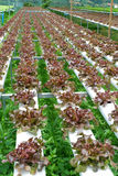 Hydroponics κόκκινο δρύινο μαρούλι Στοκ εικόνες με δικαίωμα ελεύθερης χρήσης