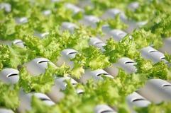 Hydroponics λαχανικό Στοκ φωτογραφία με δικαίωμα ελεύθερης χρήσης