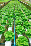 Hydroponics πράσινο λαχανικό Στοκ φωτογραφία με δικαίωμα ελεύθερης χρήσης