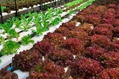 Hydroponics πράσινο λαχανικό Στοκ Εικόνες
