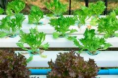 Hydroponics το πράσινο λαχανικό απομονώνει Στοκ Εικόνες
