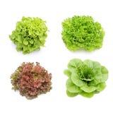 Hydroponics συλλογή λαχανικών Στοκ Εικόνες