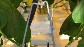 Hydroponics σύστημα στις εγκαταστάσεις αγγουριών από επάνω στενό απόθεμα βίντεο