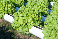 hydroponics φυτό Στοκ Εικόνες