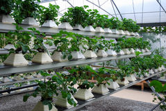 Hydroponics Royalty Free Stock Images