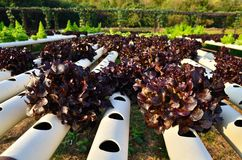 Hydroponics. Growing vegetables in hydroponics farm Royalty Free Stock Images