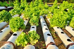 Hydroponics. Growing vegetables in hydroponics farm Stock Photo
