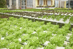 hydroponics Fotografia Stock Libera da Diritti