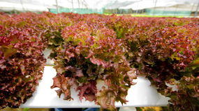 hydroponics Arkivbild