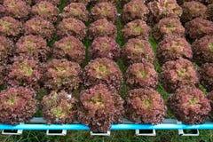 hydroponics Royaltyfri Bild