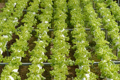 hydroponics Стоковое Изображение