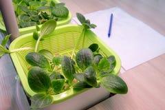 hydroponics De methode om installaties in water zonder land in het laboratorium te kweken Biologische en botanische experimenten  stock afbeelding