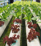 Hydroponics farm Stock Photography