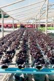 Hydroponics farm in greenhouse at Corofield, Thailand. Royalty Free Stock Photo