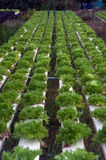 Hydroponics farm in greenhouse at Corofield, Thailand. Stock Photos