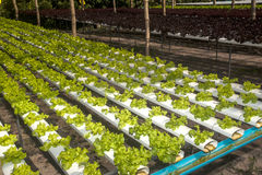 Hydroponics farm in greenhouse at Corofield, Thailand. Royalty Free Stock Image